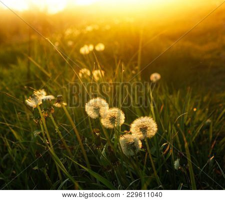 Meadow Of Dandelions To Make Dandelion Wine. Sunset Or Sunrise