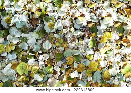 On The Ground Lie The Fallen Leaves . The Leaves Are A Continuous Layer. The Leaves Are Different Co
