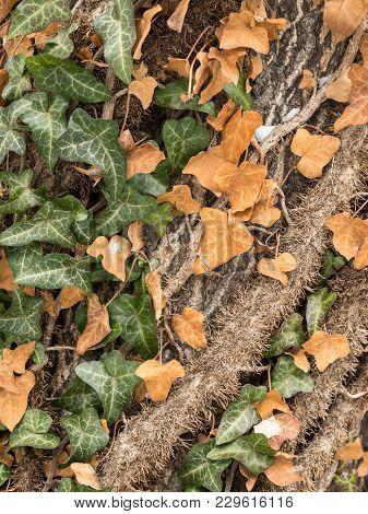 An English Ivy (hedera Helix) Climbing Up A Tree, Green And Brown Leaves