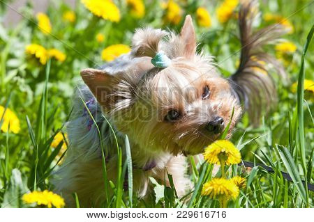 Small Yorkshire Terrier Smelling Flower On Spring Walk