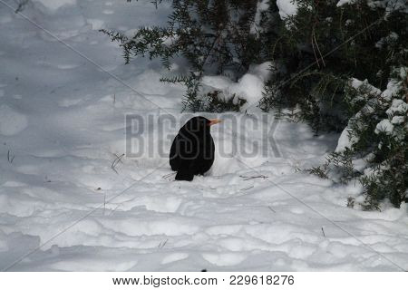 Little Black Bird Try To Warm In Cold Winter Day In The Forest