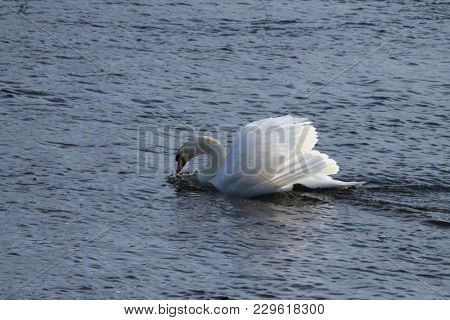 Beautiful White Swan Slip Swim On The Surface Of Blue River Water In Cold Winter Day