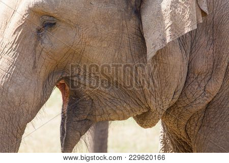 Large Herd Of Asian Elephants (elephas Maximus) Eating Grass