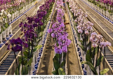 Honselersdijk, The Netherlands - January 5, 2018: Great Modern Orchid Growing Greenhouse In Westland