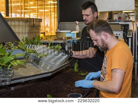 Honselersdijk, The Netherlands - January 5, 2018: Workers With Plant Cuttings In A Great Orchid Grow