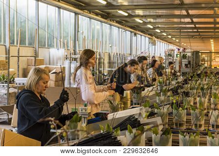 Honselersdijk, The Netherlands - January 5, 2018: Workers In A Great Modern Orchid Growing Greenhous