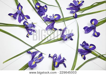 The Violet Irises Xiphium Bulbous Iris, Iris Sibirica On White Background With Space For Text. Top V