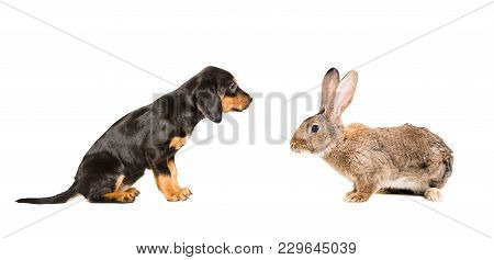 Cute Puppy Breed Slovakian Hound And Rabbit, Isolated On White Background