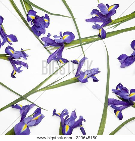 Violet Irises Xiphium Bulbous Iris, Iris Sibirica On White Background With Space For Text. Top View,