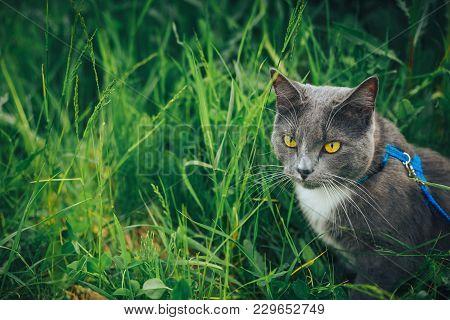 Gray Pet Cat With Leash Wandering In Backyard. Young Cute Male Cat Wearing A Harness Go On Lawn Havi