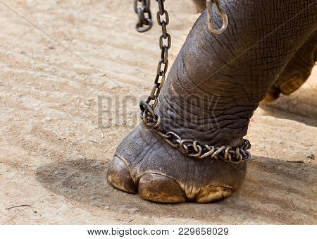 Elephant's Leg With Chains