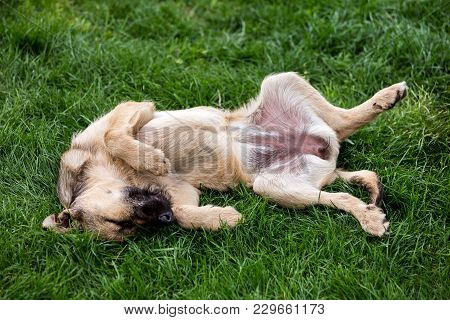 Mongrel Dog Resting On Grass Lying On Back With Eyes Closed