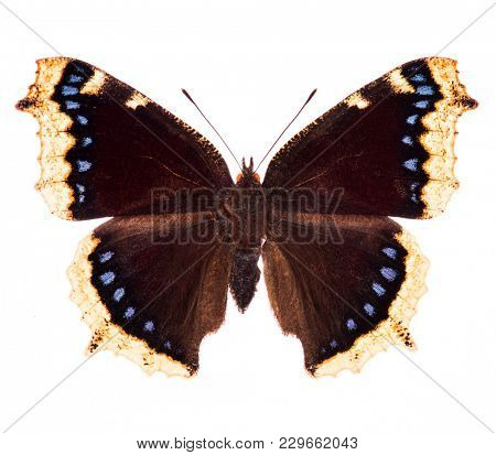 Camberwell beauty or mourning cloak (Nymphalis antiopa) butterfly native to North America and Europe isolated on a white background