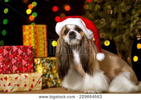 Beautiful Shih-tzu Dog With Christmas Presents And Bokeh In The Santas Hood. Best Present In The Yea