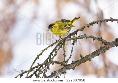 Eurasian Siskin (spinus Spinus) Jumps On A Branch Of A Larch, Spreading Its Wings.