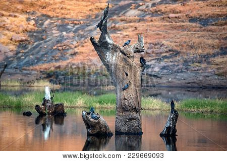 Scenic View Of Marshland Landscape With Pigeons In Ranthambore National Park, Rajastan, India.