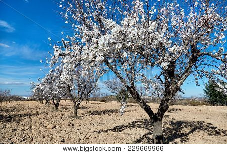 A Grove Of Almond Trees In Spain