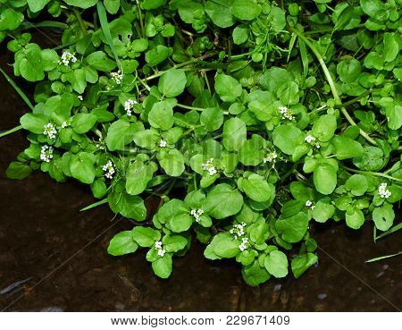 Small White Flowers And Green Leaves Of Water Cress Plant In A Freshwater Stream