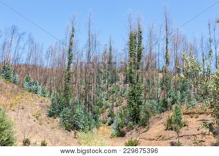 Burnt And Recovering Eucalyptus Trees In Portuguese Forest