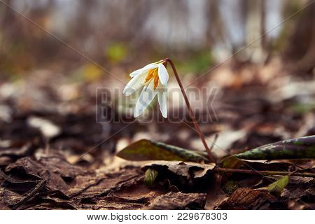 Avalanche Lily In The Spring Forest, Flowers Of The North Caucasus, Russia