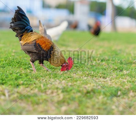 rooster grazing in park, outdoors