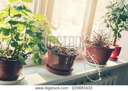 Flowers With New Spring Sprouts On Sunny Windowsill