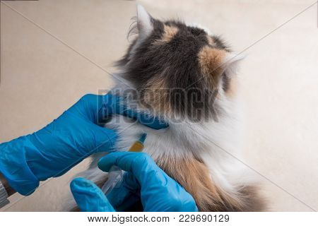 The Vet Vaccinates The Cat. Vaccination Of Animals.