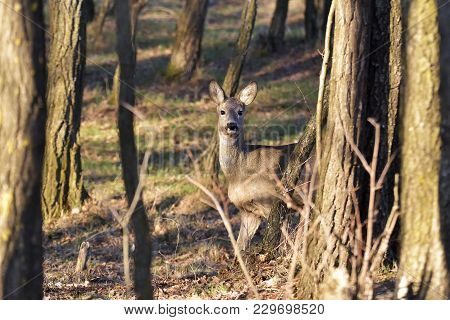 Beautiful Young Deer In Forest (cervidae)