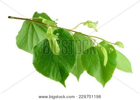 Linden Tree In Blossom. Branch Of A Linden Tree With Flowers, Isolated On A White Background Without
