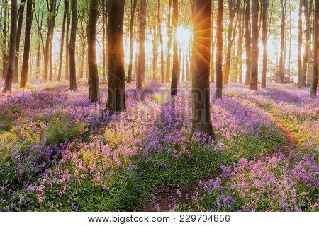 Beautiful Woodland Bluebell Forest In Spring. Purple And Pink Flowers Under Tree Canopys With Sunris