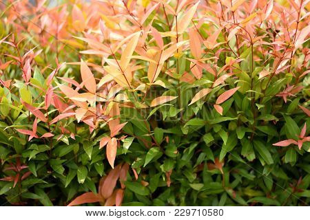 Some Focused Autumn Red Leaves For Background, Beautiful Nature Plant Orange Leaf Background. Red Le