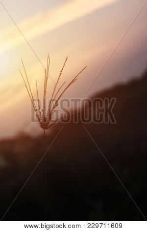 Some Focus And Closeup Silhouette Of The Grass Flower With Light Sun Or Shadow Of The Grass And Blur