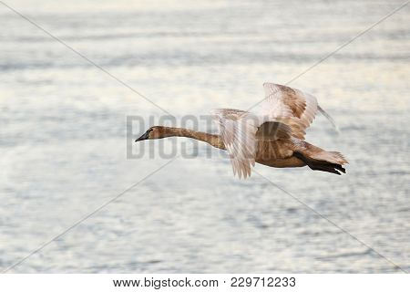 Young Mute Swan Flying On The River