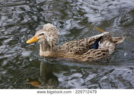 Amazing Crested Duck Swims In Lake Or River With Blue Water Under Sunlight Landscape. Closeup Perspe
