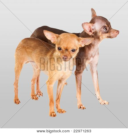 Two Russian toy terrier isolated on a grey background poster