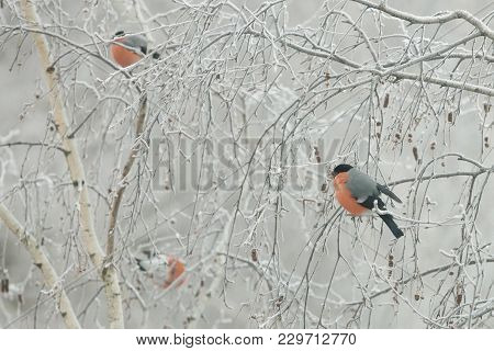 A Flock Of Bullfinches (pyrrhula Pyrrhula) Sit On The Frozen Branches Of A Birch, On A Cold Winter D