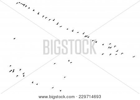 Flock Of Birds On A White Background .
