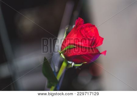 Single Red Rose In Close Up Key On Grey Background, Top View. Beauty Red Rose In Spectacle Room. Bea