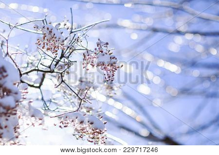 Frozen Branches Affected By Frost. Budding Tree Damaged By Frost. Frozen Tree Branch In Winter.
