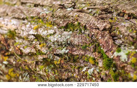 Nice Wooden Texture Of Tree Bark With Moss And Lichen. Old Wood Tree Bark Texture With Green Moss. W