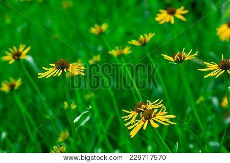 Yellow Flower In Garden At Sunrise. Yellow Silphium Perfoliatum Flower. Cup Plant Yellow Flower On G