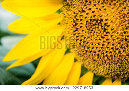 Close-up Of Petals And Pollen Of Bright Yellow Sunflower.bright Yellow Sunflowers And Sun. Field Of