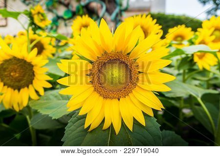 Bright Yellow Sunflowers And Sun. Field Of Sunflower Background With Copy Space.close-up Of Petals A
