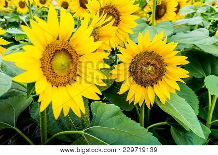 The Garden Of Sunflower With Pollen And Bright Yellow Leaves.bright Yellow Sunflowers And Sun. Field