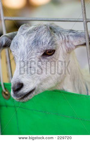 a sheep sticks its little head out of a containment fence poster