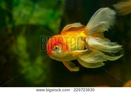 Golden fish closeup
