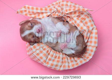 Newborn Puppy Chihuahua Sleeps On Colorful Bag