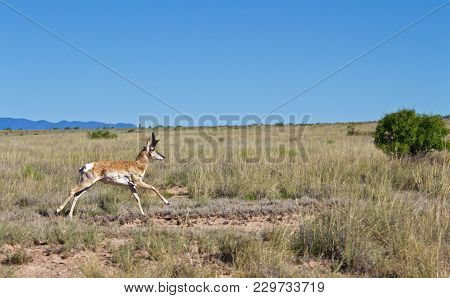 Pronghorn Buck Running Through Grassy Field In The Desert In New Mexico
