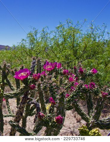 Flowering Cholla Plant Blooming With Pink Flowers
