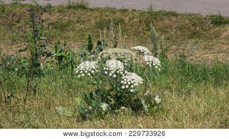 Flowers On Dangerous Plant Hogweed Sosnowski, Heracleum Sosnowskyi, Closeup, Selective Focus, Shallo